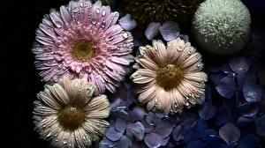 Фото Герберы Капля Цветы