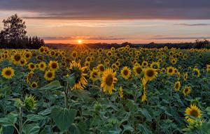 Обои Германия Подсолнухи Поля Рассветы и закаты Солнца Herforst Природа