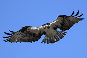 Картинка Ястреб Птицы Полет osprey животное