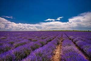 Картинка Лаванда Поля Небо Облачно Цветы Природа