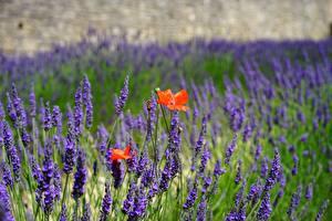 Обои Лаванда Мак Боке цветок