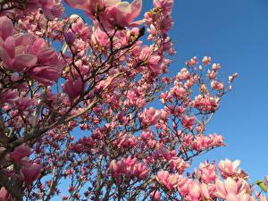 Обои Магнолия Ветвь Розовый Цветы