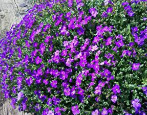 Обои Много Фиолетовых Aubretia Цветы