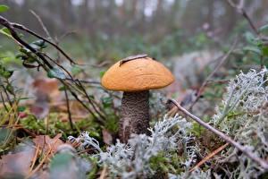 Фото Грибы природа Вблизи Размытый фон Orange-cap boletus