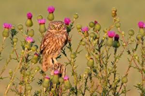 Фотографии Сова Птицы Смотрят little owl, thistle
