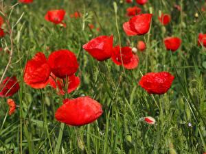 Картинки Маки Вблизи Много Красный Бутон Цветы