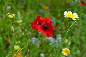 Картинки Маки Вблизи Красные Бутон Размытый фон Цветы