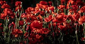 Картинка Маки Много Бутон Красная Цветы