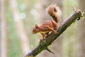 Фотография Белки Грызуны Ветка Рыжие Размытый фон животное