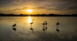 Картинка Рассвет и закат Птицы Фламинго Озеро Отражение Животные