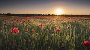 Обои Рассветы и закаты Поля Мак Солнца Природа