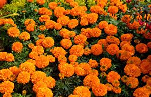 Фотография Бархатцы Много Оранжевые цветок