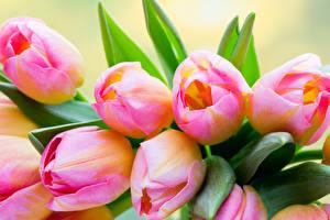 Обои Тюльпаны Крупным планом Розовая Цветы