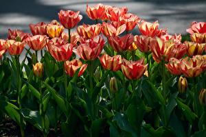 Фотография Тюльпаны Много Крупным планом