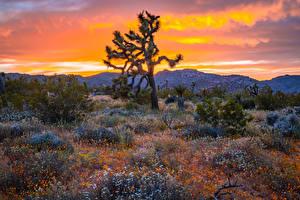Обои США Парк Рассветы и закаты Кактусы Калифорнии Холм Кусты Joshua Tree National Park Природа