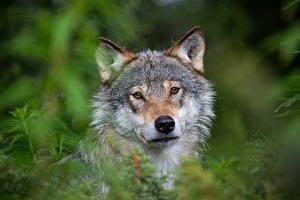 Фотография Волки Головы Траве Смотрит Размытый фон Животные