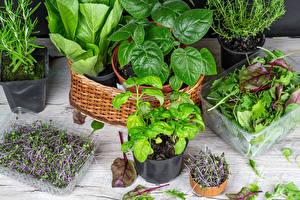 Фото Цветочный горшок Кустов Лист microgreen Природа