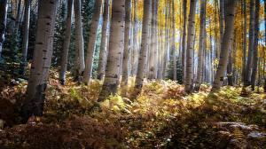 Фотографии Осенние Леса Дерева Лучи света Березы