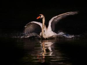 Фотография Птица Лебеди Ночью Белые