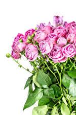 Картинки Букеты Роза Белом фоне Бутон Розовый Цветы