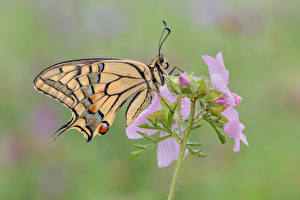 Фото Бабочки Насекомое Крупным планом Swallowtail butterflies