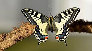 Фотографии Бабочки Насекомое Вблизи machaon животное