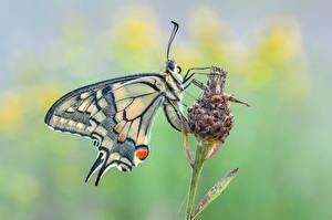Фотографии Бабочки Насекомые Вблизи machaon Животные