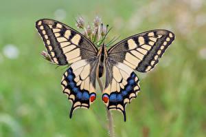 Фотографии Бабочки Насекомое Крупным планом machaon