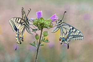Фото Бабочки Насекомое 2 machaon