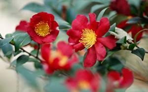 Картинки Камелия Крупным планом Боке Красная Цветы