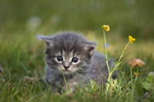 Обои Кошки Трава Размытый фон Взгляд Котята Животные картинки