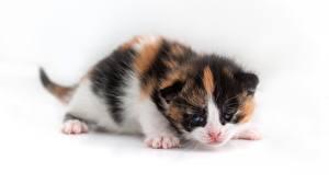 Фото Коты Котят Белом фоне Животные