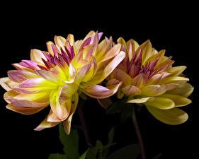 Фотография Хризантемы Вблизи Черный фон Две