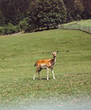 Обои Олени Трава Sika deer Животные картинки