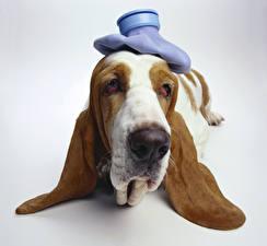 Картинки Собаки Серый фон Бассет хаунд Морда Животные