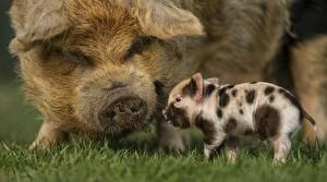 Обои Домашняя свинья Детеныши Трава животное