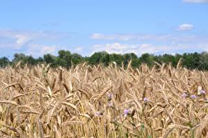 Картинки Поля Пшеница Колосок