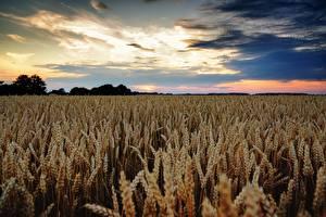 Фотографии Поля Пшеница Небо Колоски Горизонта