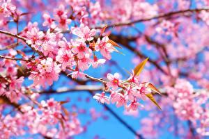 Картинка Цветущие деревья Ветвь Сакуры цветок