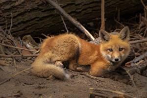 Фотографии Лисица Взгляд животное