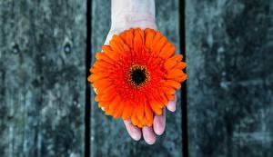 Фотографии Гербера Оранжевых Рука цветок