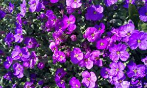 Фотографии Много Вблизи Фиолетовая Aubretia цветок