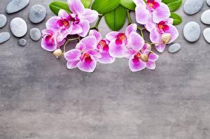 Фотография Орхидеи Камень Ветка Серый фон Розовая Шаблон поздравительной открытки Цветы