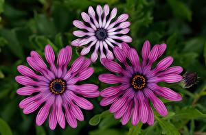 Картинка Остеоспермум Втроем Боке цветок