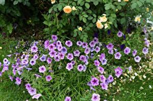 Обои для рабочего стола Петуния Много Фиолетовых цветок