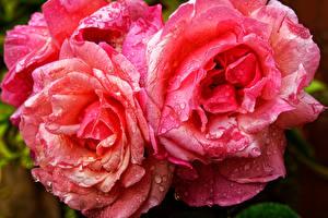 Картинка Розы Вблизи Розовый Капли Цветы