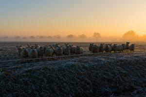 Обои Овцы Утро Туман Трава Иней Стадо животное