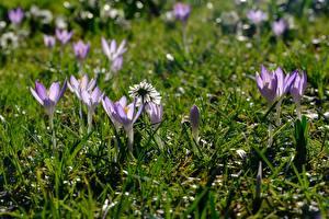 Фотография Весенние Крокусы Трава Фиолетовые Цветы