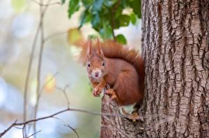 Картинки Белка Грызуны Ствол дерева Боке животное