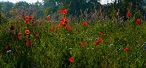 Фото Лето Поля Маки Траве цветок
